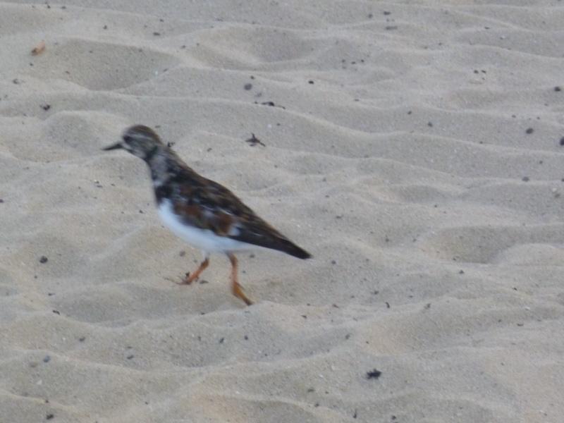 Oiseau Fuerteventura. Mais lequel? 12710