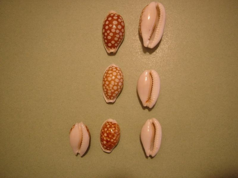 Cribrarula cribraria - (Linnaeus, 1758) Dsc05321