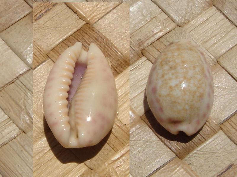 Ovatipsa chinensis - (Gmelin, 1791)  Dsc05419