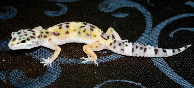 Leopardgeckos Nachzuchten 2010 abzugeben, 25335 Elmshorn Img_0411