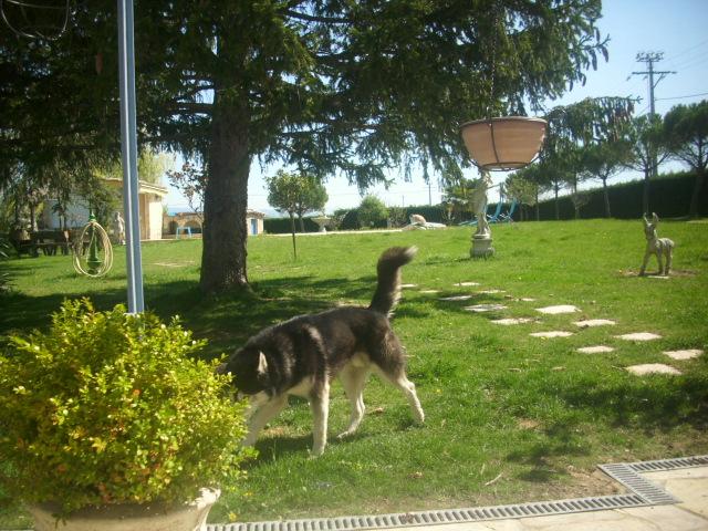 Spot, husky noir et blanc, mâle  âgé de9  ans a l'Eden Valley (26)DECEDE Spot_e11