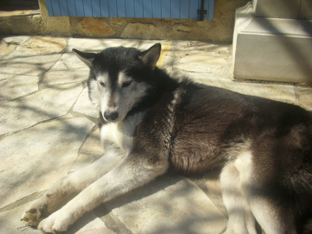 Spot, husky noir et blanc, mâle  âgé de9  ans a l'Eden Valley (26)DECEDE Spot_e12