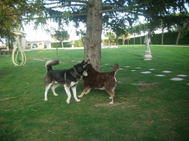 Spot, husky noir et blanc, mâle  âgé de9  ans a l'Eden Valley (26)DECEDE Spot_e15