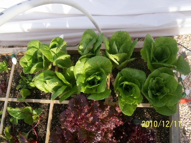 UpSo: December Lettuce 100_2611
