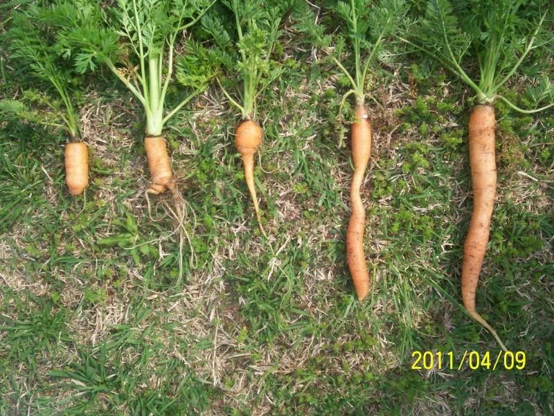 CRAZY Carrot Harvest pics 100_2910