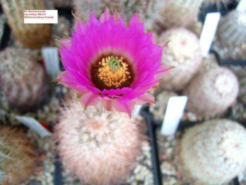 Echinocereus reichenbachii Alle_b13