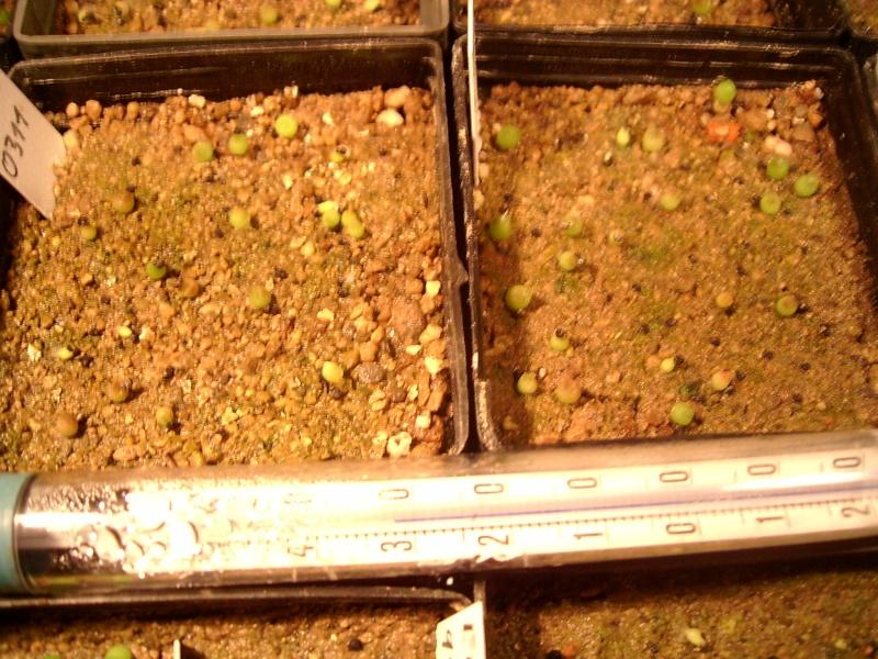 Echinocereus-Aussaaten Achim / Elke im Vergleich - Seite 4 Arioca27