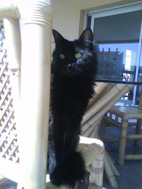 cooki chat noir poils mi longs Cooki12