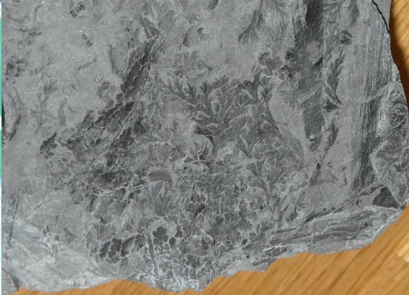 Rhodeites  Urnatopteris   Palmat11