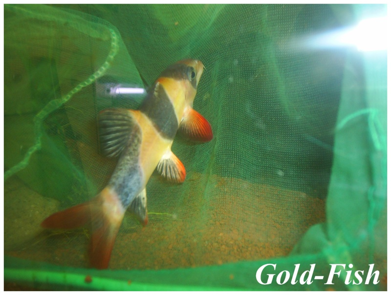 Un poisson qui vient d'échappé bel! Botia_13