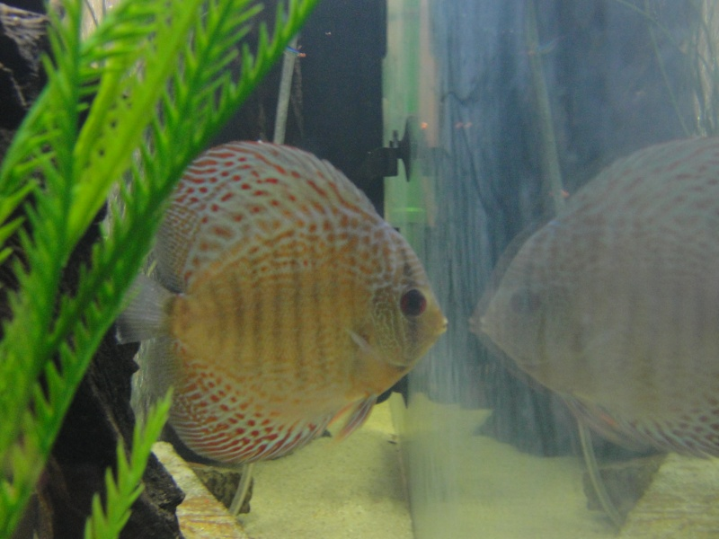 DISCUS TANK (FISH UPDATE) - Page 2 Dsc03020