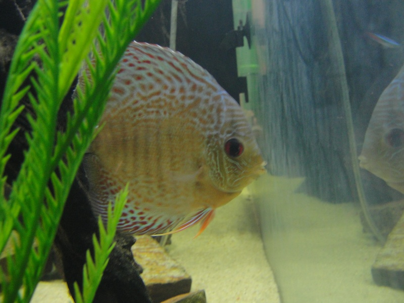 DISCUS TANK (FISH UPDATE) - Page 2 Dsc03021