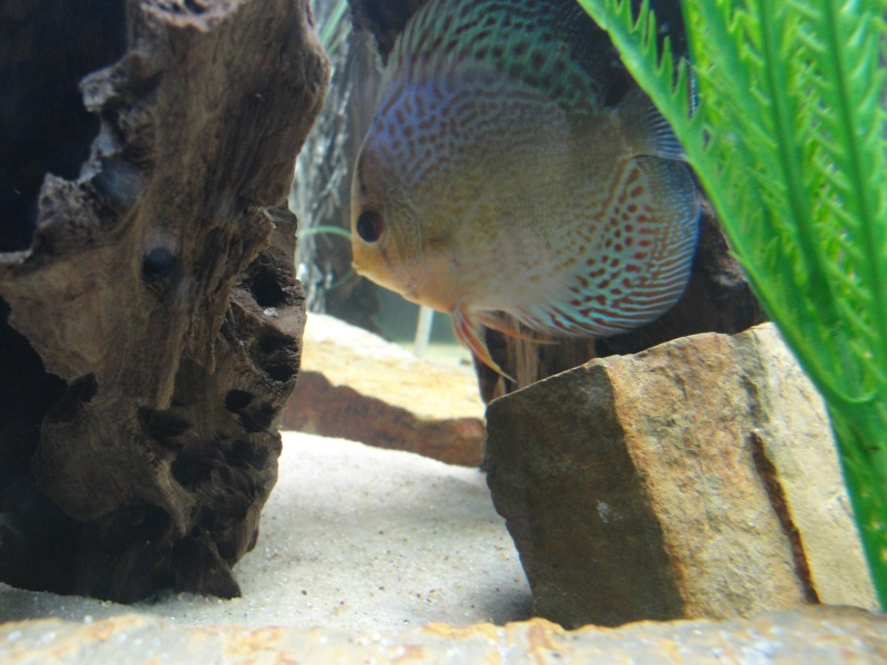 DISCUS TANK (FISH UPDATE) - Page 2 Dsc03215