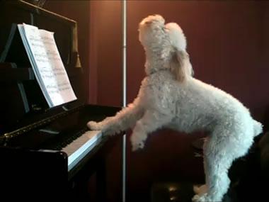 Tucker, el perro pianista que causa furor en la red  Doglov11