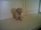 Vendo Hermosos Poodle Toy P26-3310