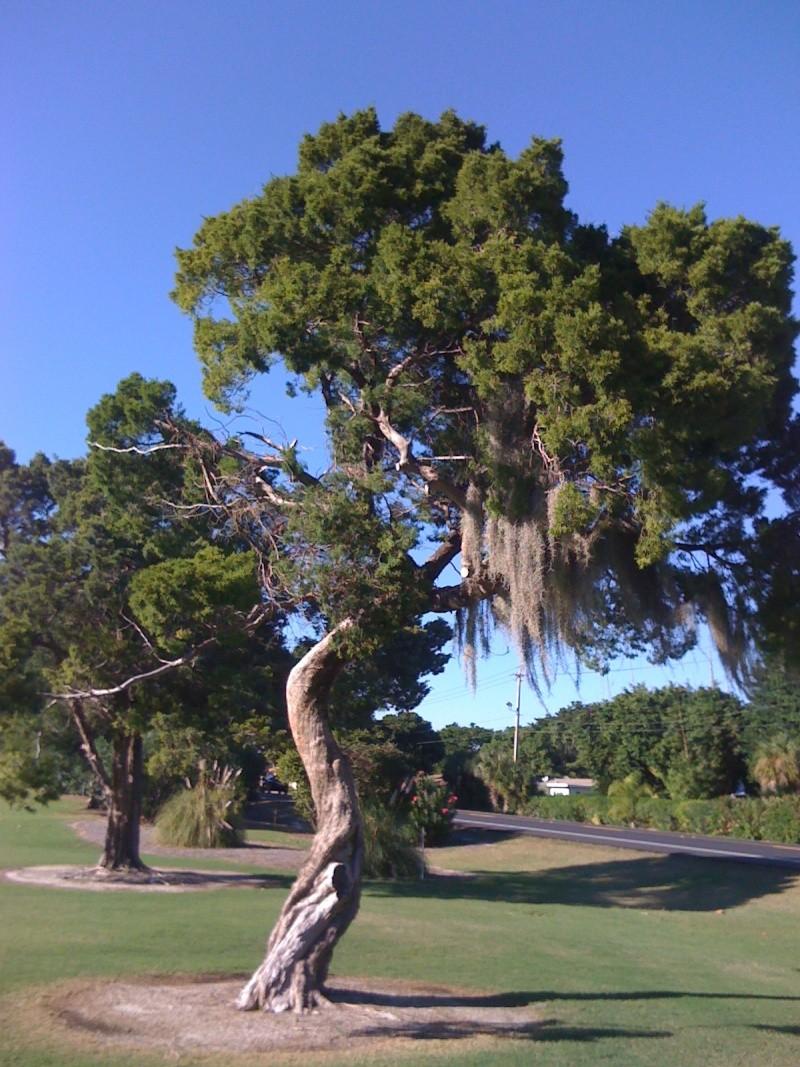 Beautiful Sarasota Banyan. Img_6810
