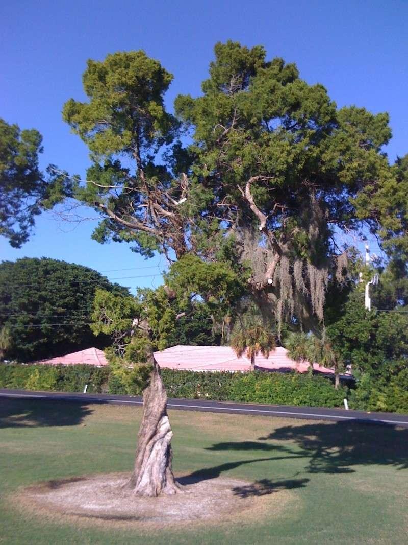 Beautiful Sarasota Banyan. Img_6811