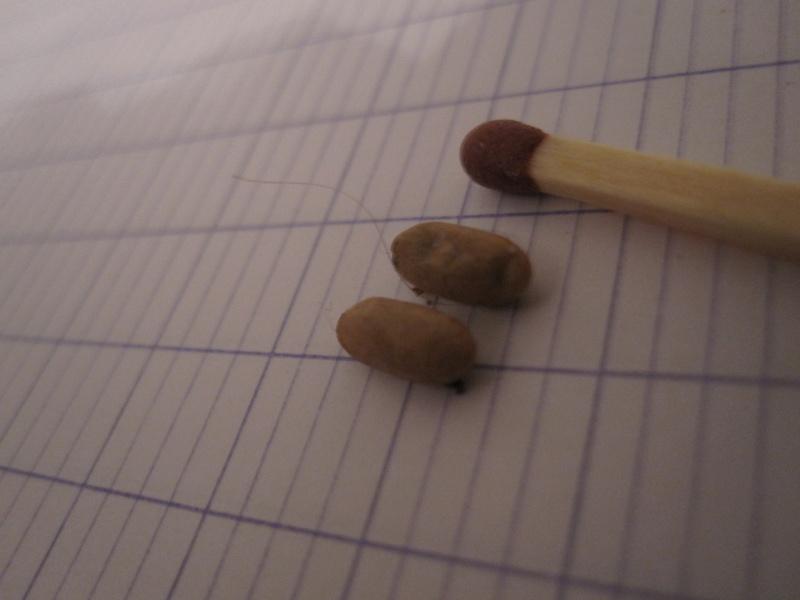 identification d'insect noir de 1mm. Cocons10