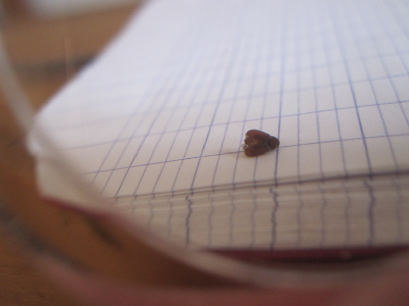 identification d'insect noir de 1mm. Photo_13