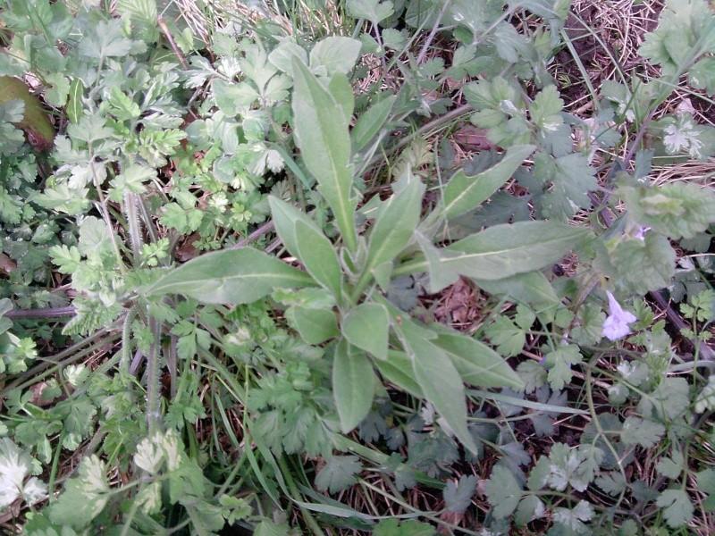 plante vert moyen, feuilles parfois divisées P0404110
