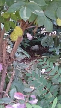 Rat blanc dans la rue Dsc_0215