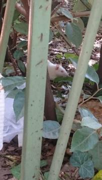 Rat blanc dans la rue Dsc_0313
