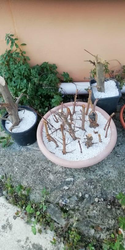 Talee legnose invernali (Giornata da eskimo e doposci) - Pagina 6 Att10