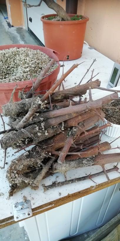 Talee legnose invernali (Giornata da eskimo e doposci) - Pagina 5 Ddf10