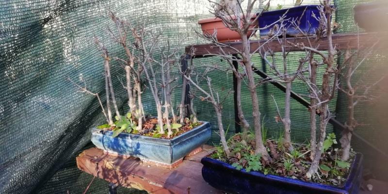 Talee legnose invernali (Giornata da eskimo e doposci) - Pagina 6 O11