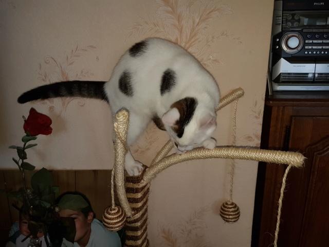 Mr SPOCK - chaton mâle, aveugle, né environ en mars 2017 - chez Lucian - Réservé FA par Abysse - Adopté par Valérie (92) - Page 2 20170910