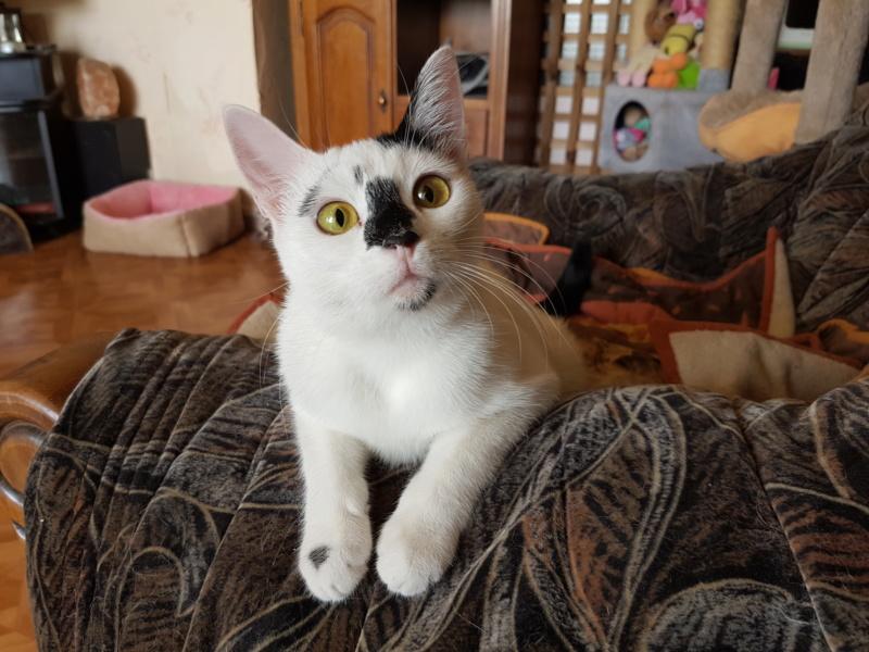 INAYA - chaton femelle, née environ mi novembre 2017 - en FA chez Abysse (92) - ADOPTEE PAR LESLIE et JULIEN (94)  20180818