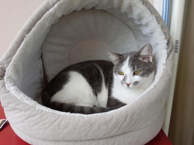 VOYOU, chaton mâle, né en Août/septembre 2016 (Pascani) - en FA chez Abysse (dpt92) - ADOPTE PAR VALERIE (92) 20180956