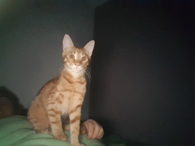 DRAGOMIR (ex MR LOUIS) - magnifique chat mâle léopard, né fin mai 2018 (BUCAREST) - EN FA chez Abysse (92) - ADOPTE PAR CYRIL (92) 20181010