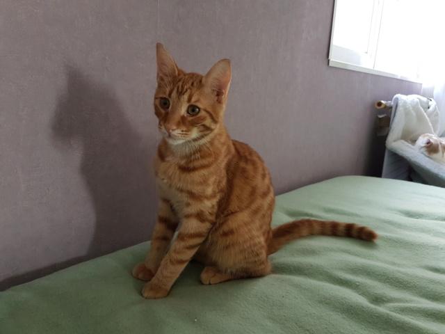 DRAGOMIR (ex MR LOUIS) - magnifique chat mâle léopard, né fin mai 2018 (BUCAREST) - EN FA chez Abysse (92) - ADOPTE PAR CYRIL (92) 20181113