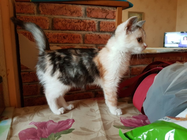 MAELYA - chaton femelle, née environ septembre 2018 - Adoptée par Véronique (78) 20190213