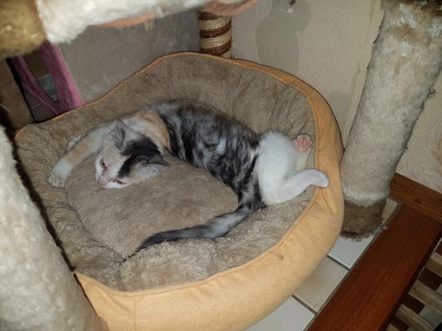MAELYA - chaton femelle, née environ septembre 2018 - Adoptée par Véronique (78) 20190260