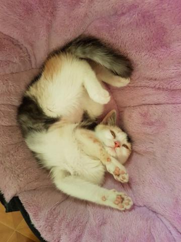 MAELYA - chaton femelle, née environ septembre 2018 - Adoptée par Véronique (78) 20190262