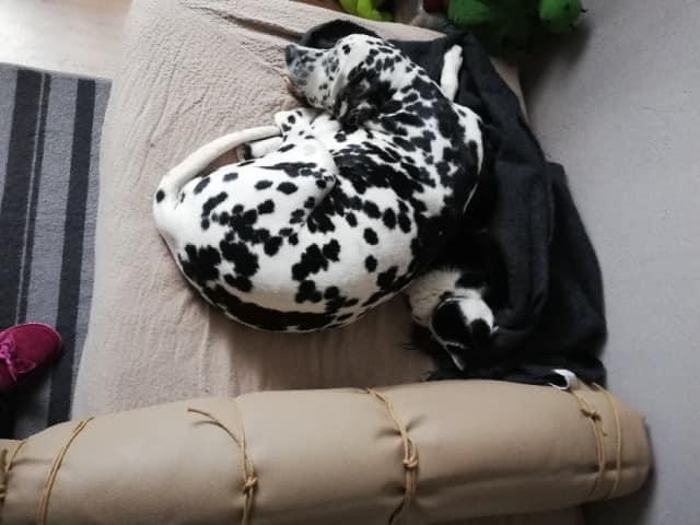 ARCHIE - magnifique mâle Dalmatien LOF de taille moyenne, né en juin 2007. Adopté par  Gisèle (depart57) - DECEDE - Page 2 Archie11