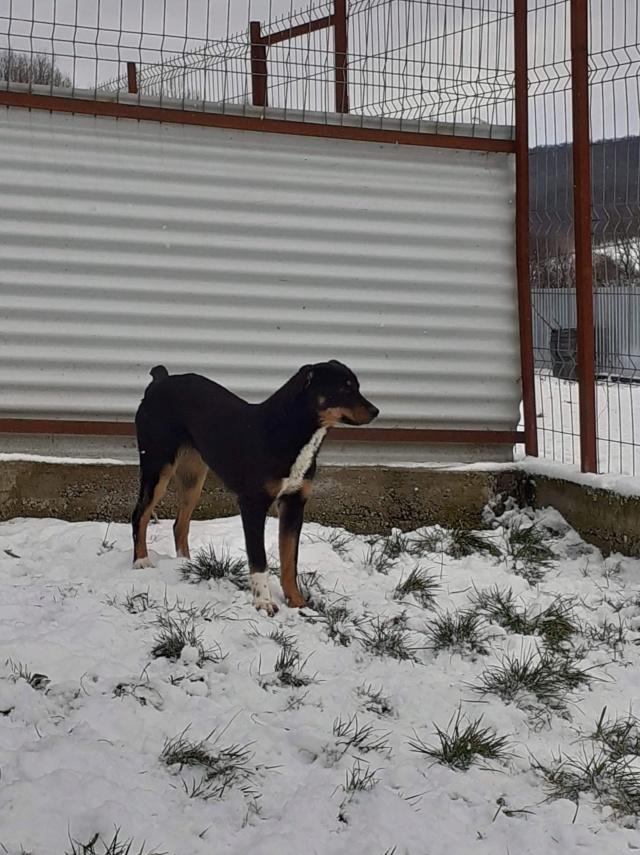 DJUNE (ex ARTEMIS) - chiot femelle croisée de taille moyenne à l'âge adulte - née environ en juin 2019 (fourrière de Roman) - REMEMBER ME LAND  - Adoptée par Katia (67)  Artemi17