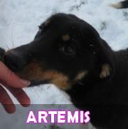 Les chiots en roumanie en un clin d'oeil  Artemi35