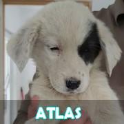 Les chiots en roumanie en un clin d'oeil  Atlas11