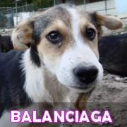 Les chiots en roumanie en un clin d'oeil  Balanc33