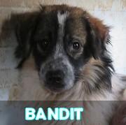 Les chiots en roumanie en un clin d'oeil  Bandit68
