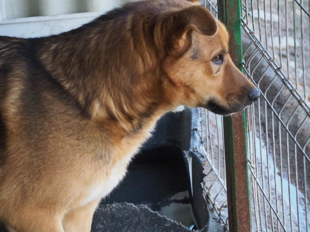 BENGAL - mâle croisé Berger Allemand de taille moyenne, né en 2013 - (Pascani) REMEMBER ME LAND - Page 2 Bengal46