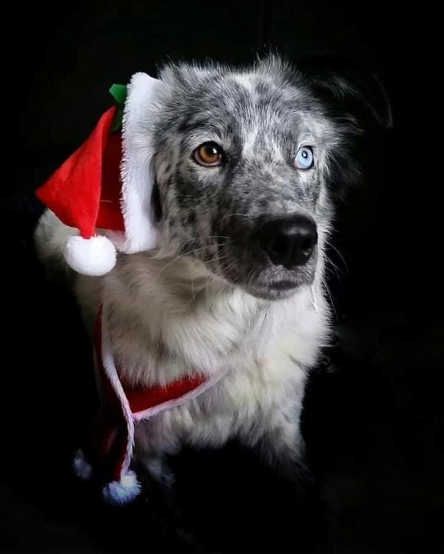 LILI-BLUE (ex BLUESKY),  femelle, sourde aux yeux vairons croisée nordique, taille moyenne, née en 2013(Pascani)- adoptée par Sabrina (34) - Page 2 Bluesk10