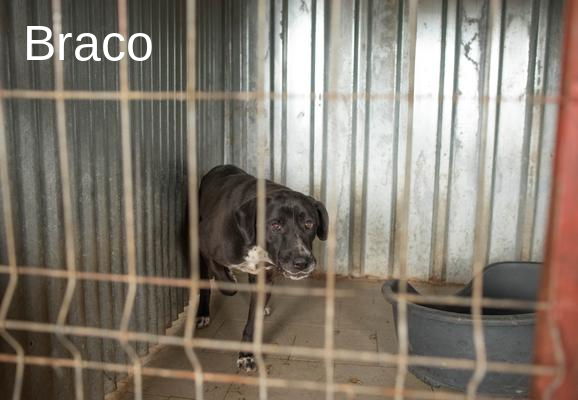 BRACO - x braque 8 ans - Asso Remember Me (Roumanie) Braco10