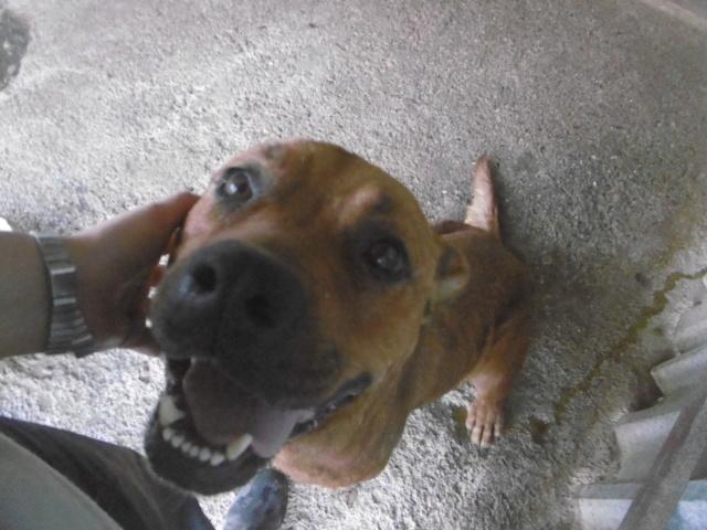 BRITNEY - femelle croisée Dogue de Bordeaux - grande taille -  née en 2011 - REMEMBER ME LAND Britne14