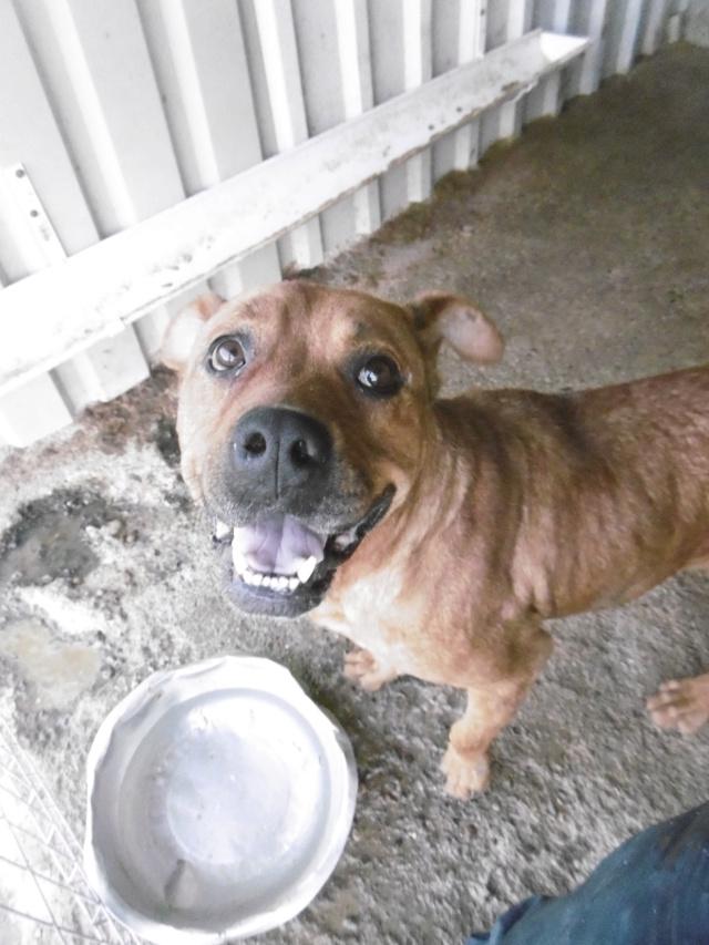 BRITNEY - femelle croisée Dogue de Bordeaux - grande taille -  née en 2011 - REMEMBER ME LAND Britne15