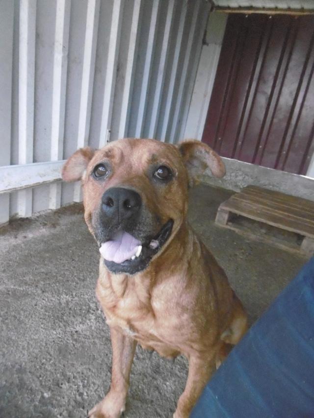 BRITNEY - femelle croisée Dogue de Bordeaux - grande taille -  née en 2011 - REMEMBER ME LAND Britne16