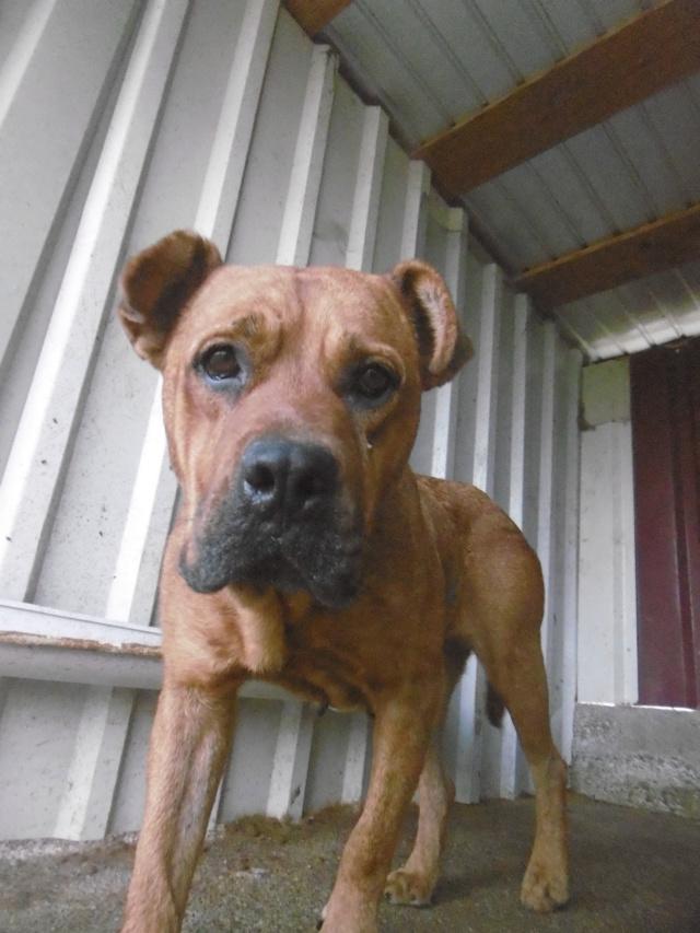 BRITNEY - femelle croisée Dogue de Bordeaux - grande taille -  née en 2011 - REMEMBER ME LAND Britne21